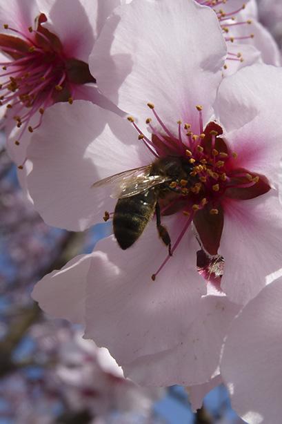abeille pollinisation amandiers