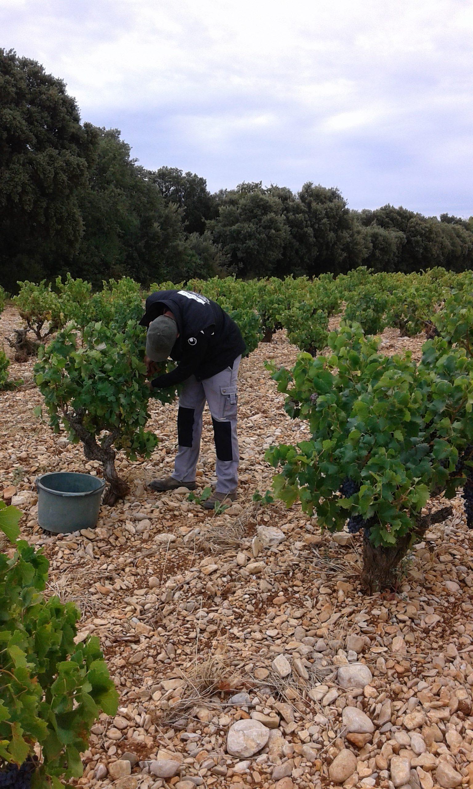 Nos vignes sur un sol caillouteux