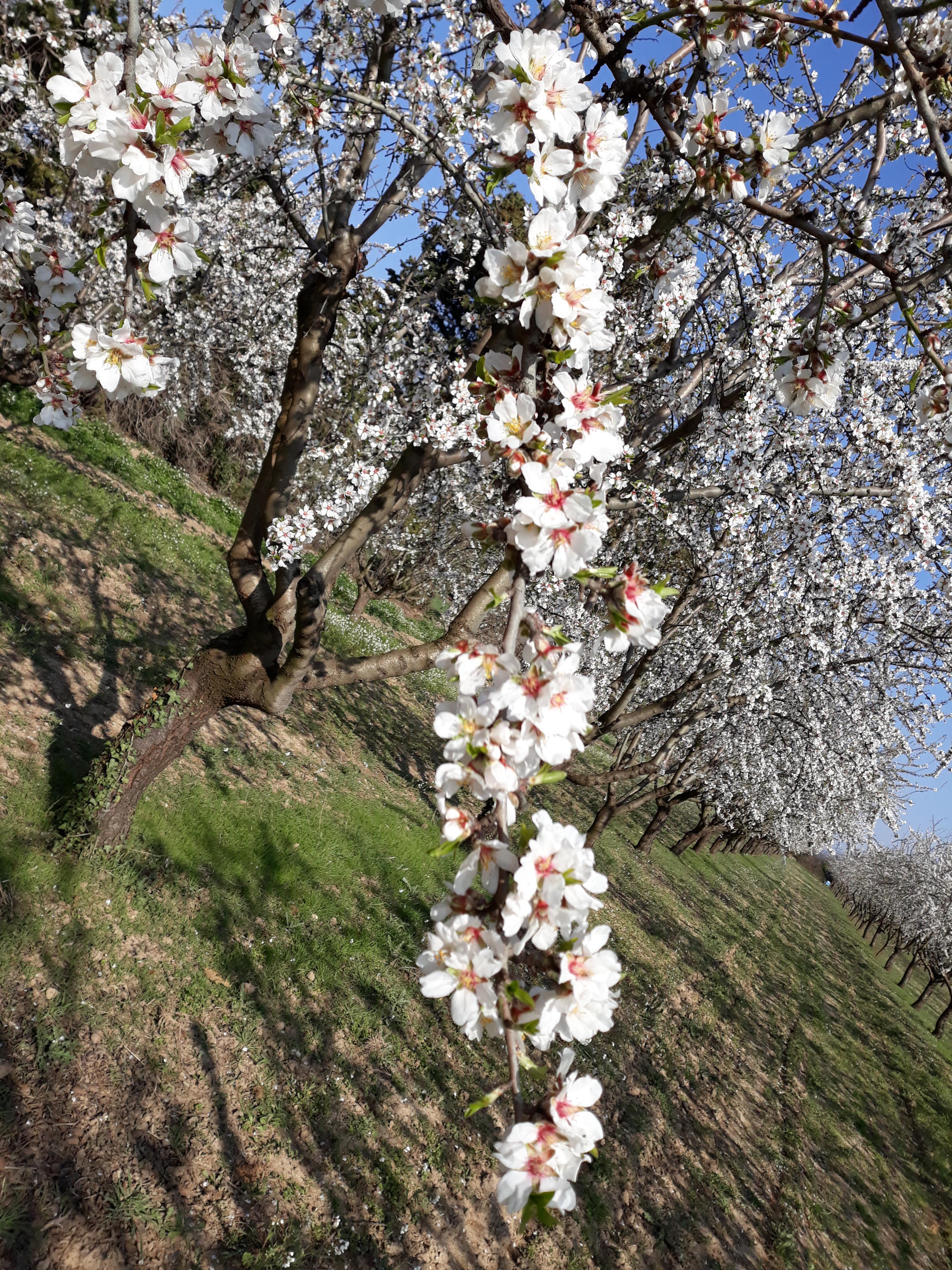 Début de la floraison des amandiers 2018
