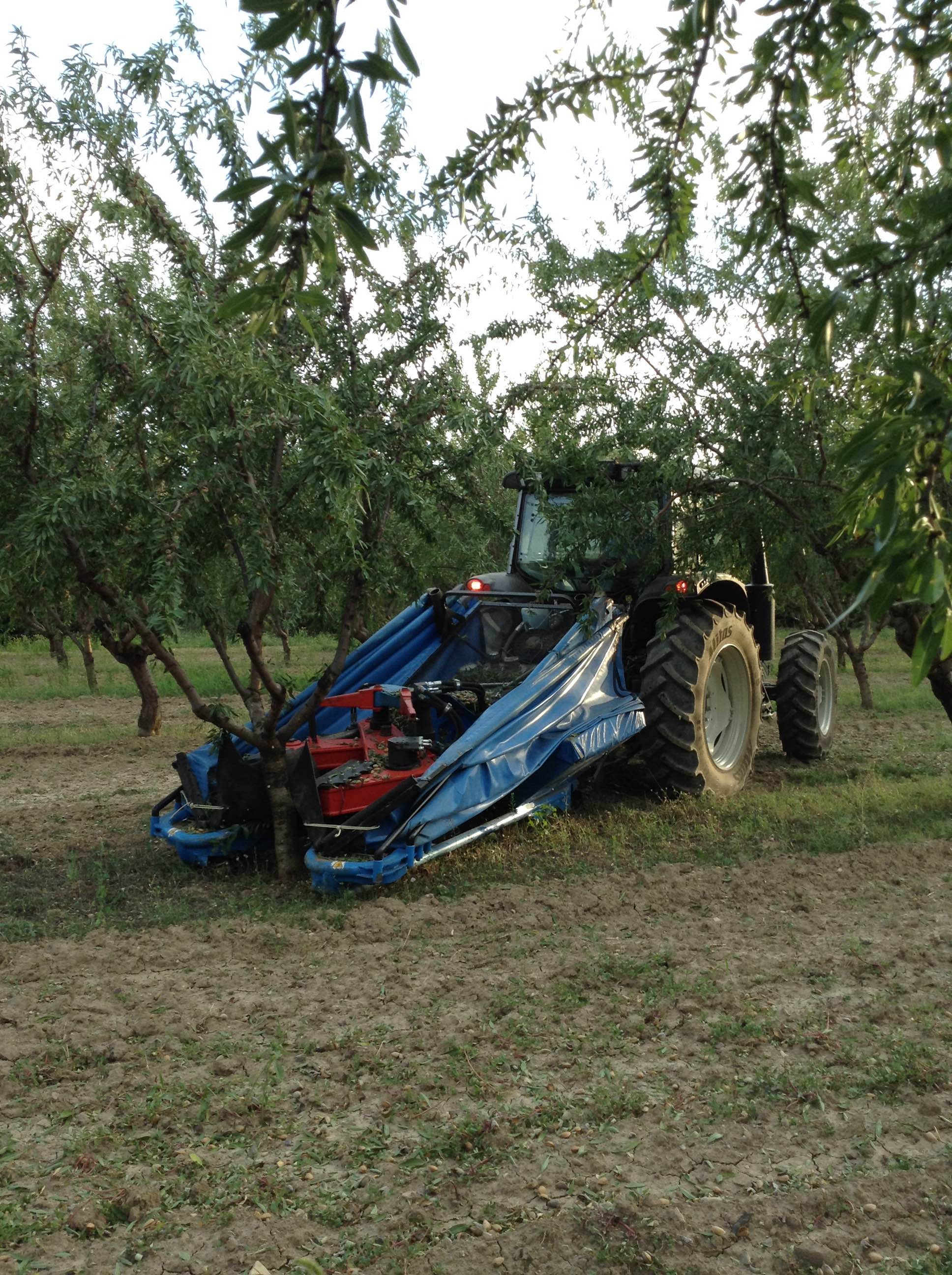 La récolte des amandes de Provence