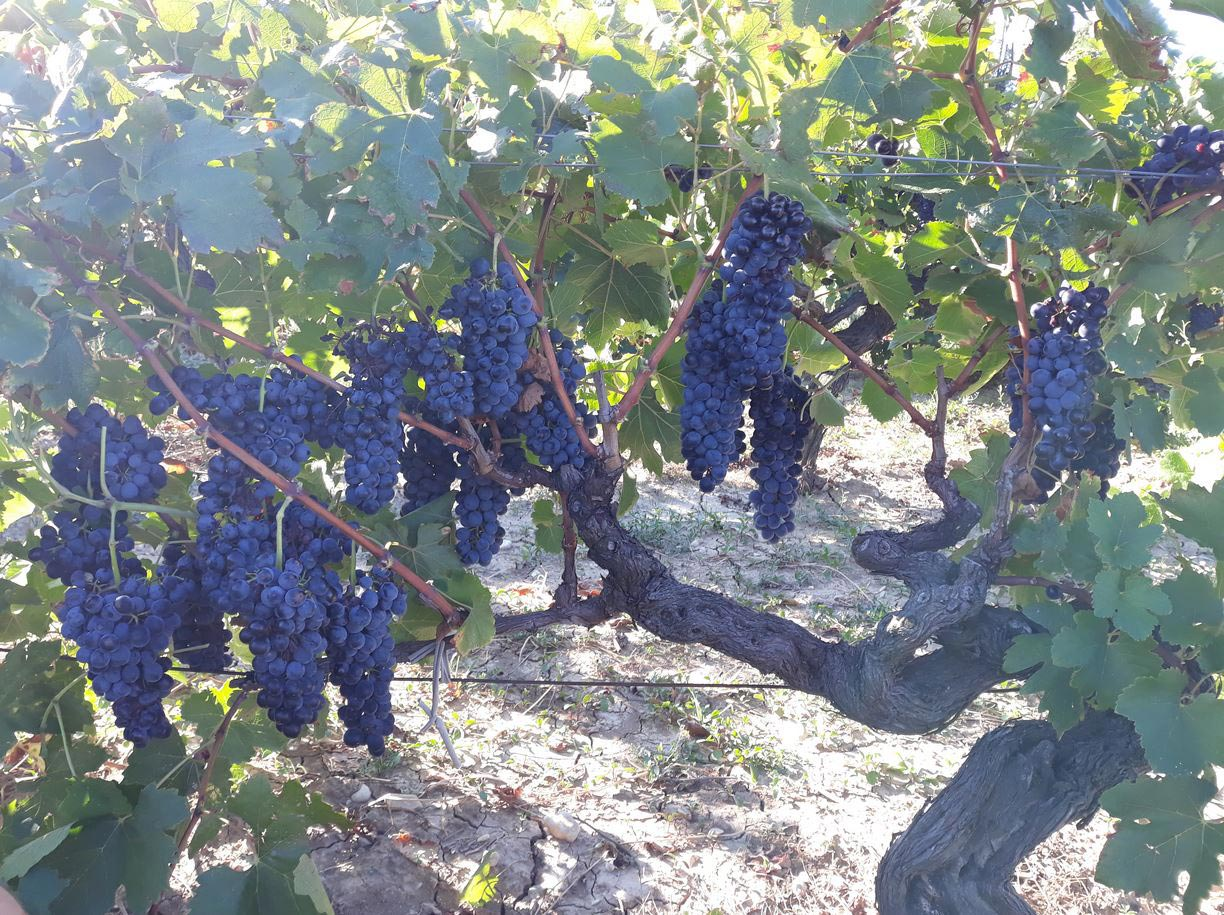 Raisins vendanges 2018