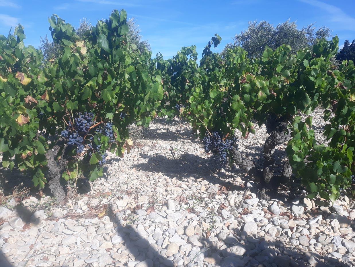 Nos vignes Côtes du Rhône Plan de Dieu