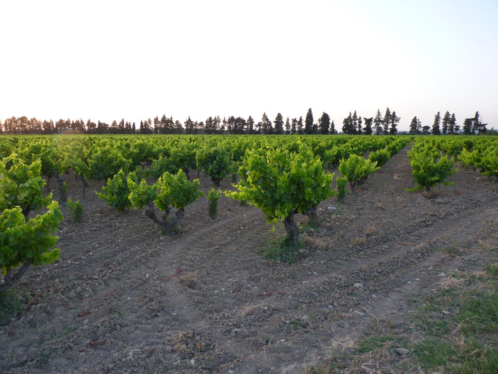 Nos pieds de vigne